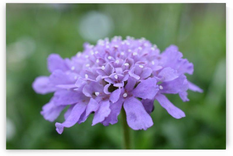 Purple Pincushion Flower Photograph  by Katherine Lindsey Photography