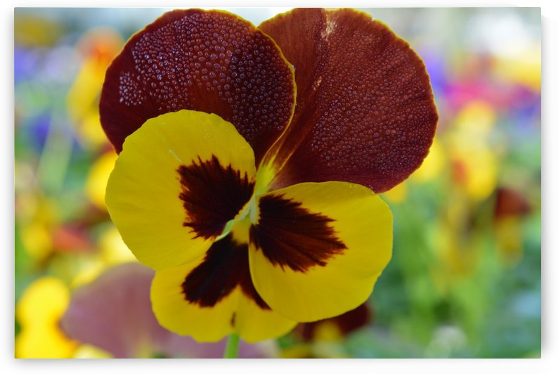 Yellow Pansy Covered In Due Drops by Katherine Lindsey Photography