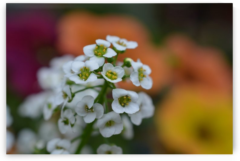 Beautiful Small White Flowers Photograph by Katherine Lindsey Photography