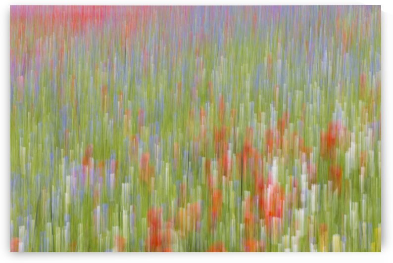 La fioritura di Castelluccio by Pietro Ebner