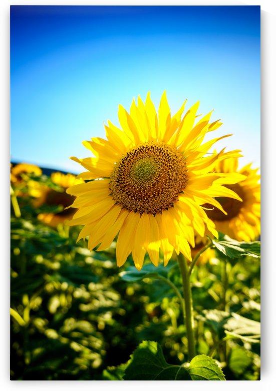 Sunflower by zoltanduray