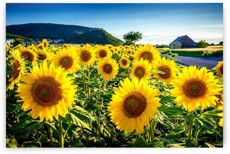 Sunflower under the Hainburg castle by zoltanduray