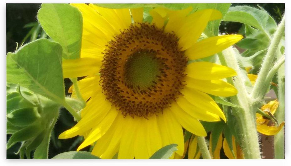 Sunflower by Nilu Mishra