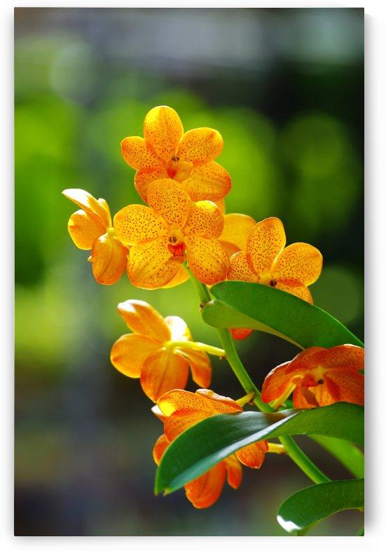 Orange orchid by Krit of Studio OMG