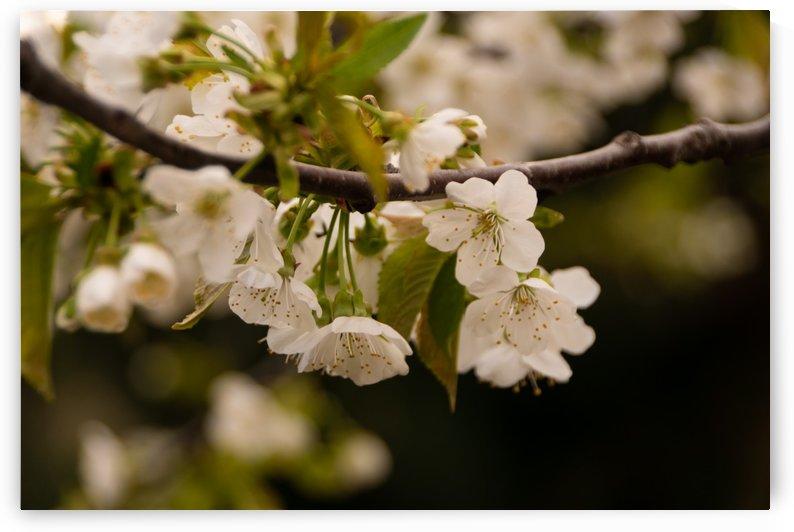 Flowers by Senn