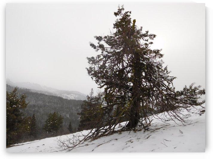 Snowy Mountain Juniper by Bear & Badger