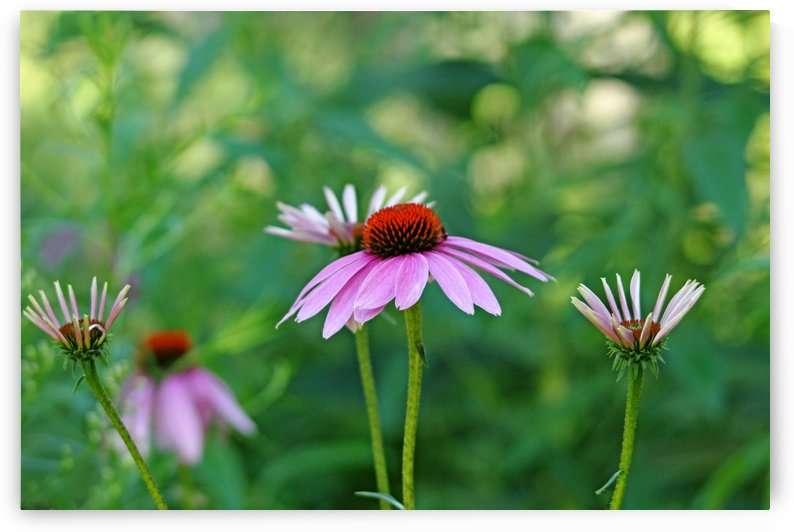 Morning Light Coneflowers by Deb Oppermann