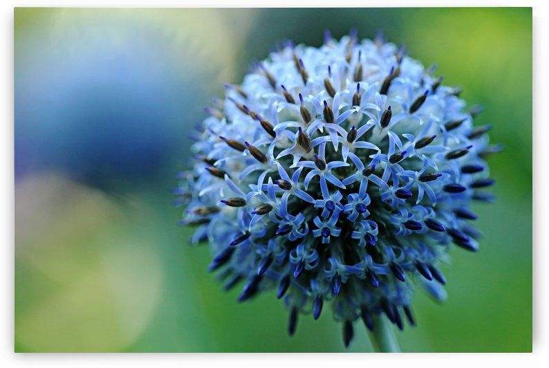 Steel Blue Giant Globe Thistle by Deb Oppermann