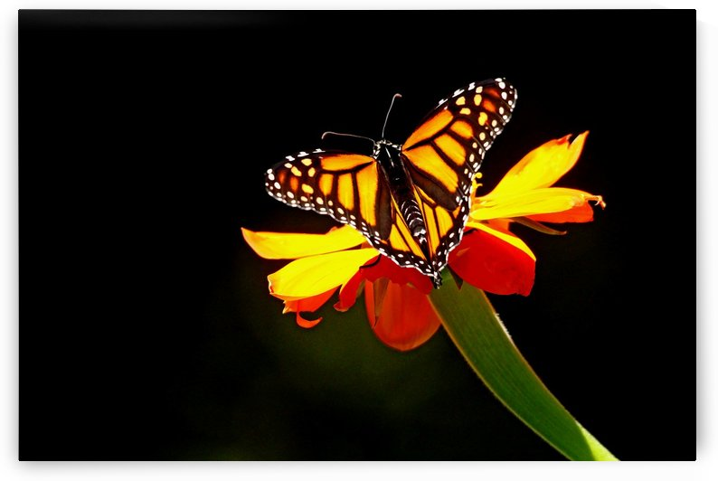 Monarch And Tithonia Light And Shadow by Deb Oppermann