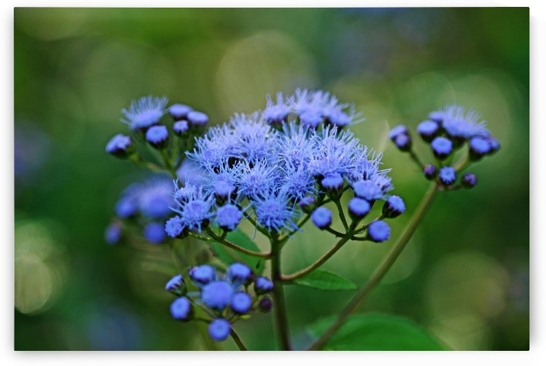 Ageratum Blue by Deb Oppermann