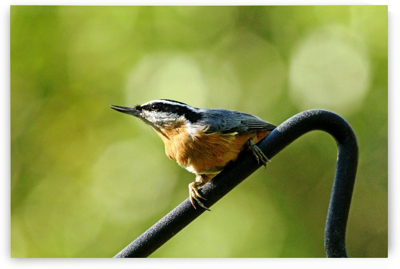 Perched Red Breasted Nuthatch by Deb Oppermann