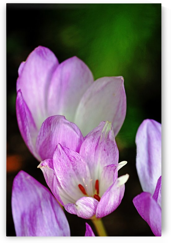 Fall Crocus by Deb Oppermann