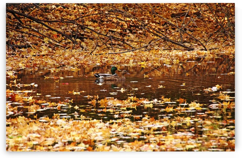 Autumns Mallards by Deb Oppermann