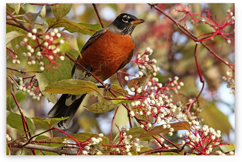 Fall Robin by Deb Oppermann