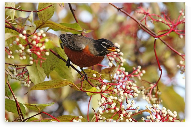 American Robin In Dogwood by Deb Oppermann