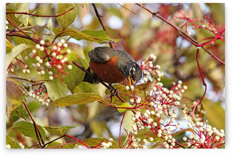 Feasting On Dogwood Fruit by Deb Oppermann