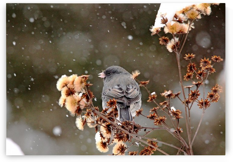 Winter Junco by Deb Oppermann