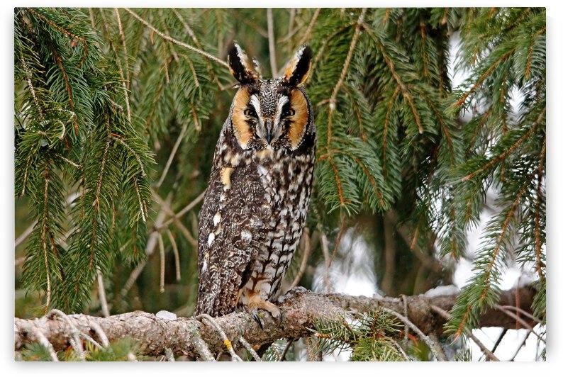 Long Eared Owl by Deb Oppermann