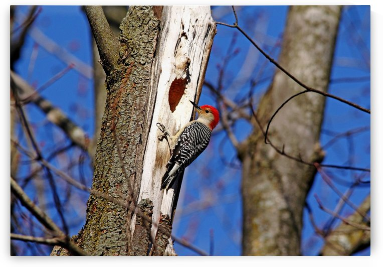 Red Bellied Woodpecker by Deb Oppermann