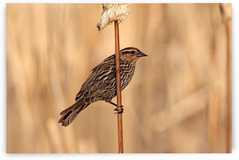 The Lady Blackbird by Deb Oppermann