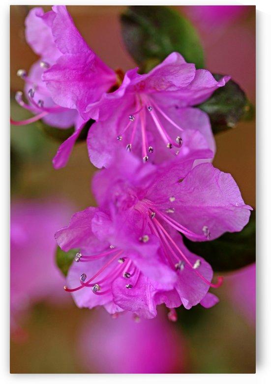 Rhododenron In Lavender by Deb Oppermann