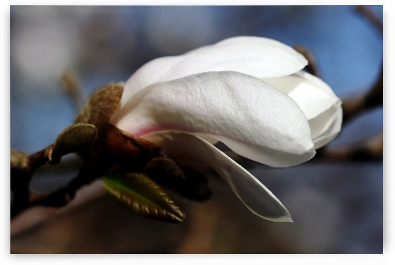 White Magnolia Bud by Deb Oppermann