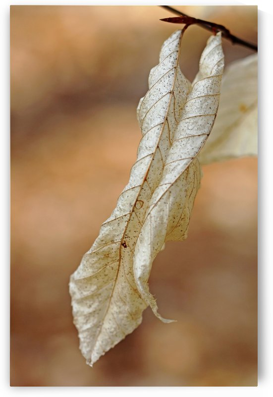 Papery Beech by Deb Oppermann