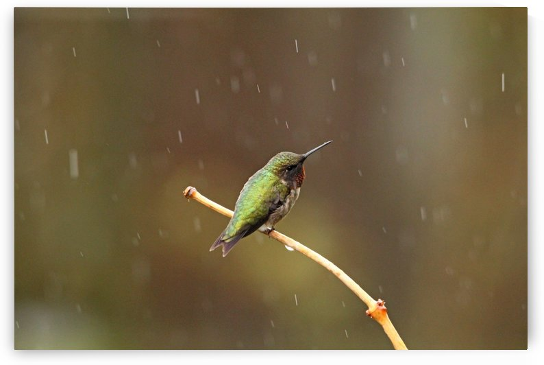 Rainy Day Hummingbird by Deb Oppermann