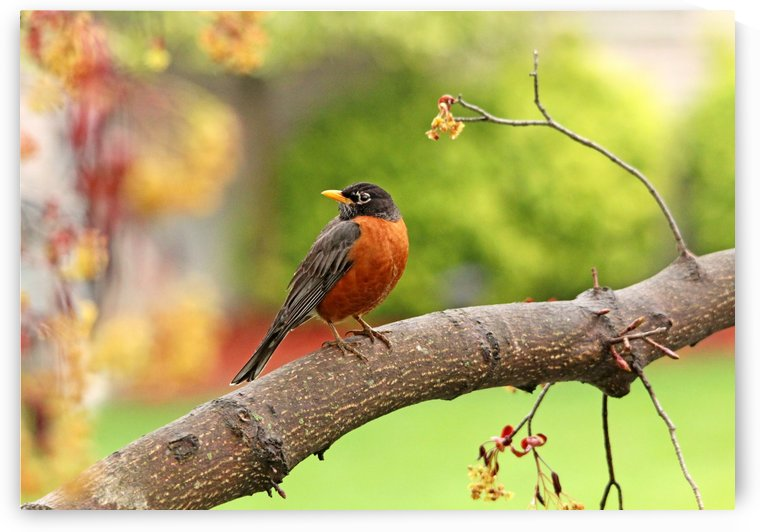 Spring American Robin by Deb Oppermann