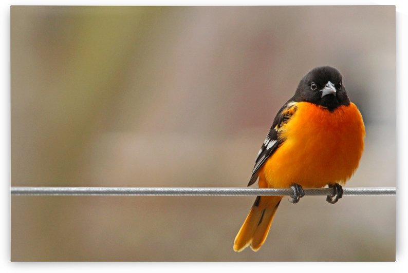 Oriole On The Line by Deb Oppermann