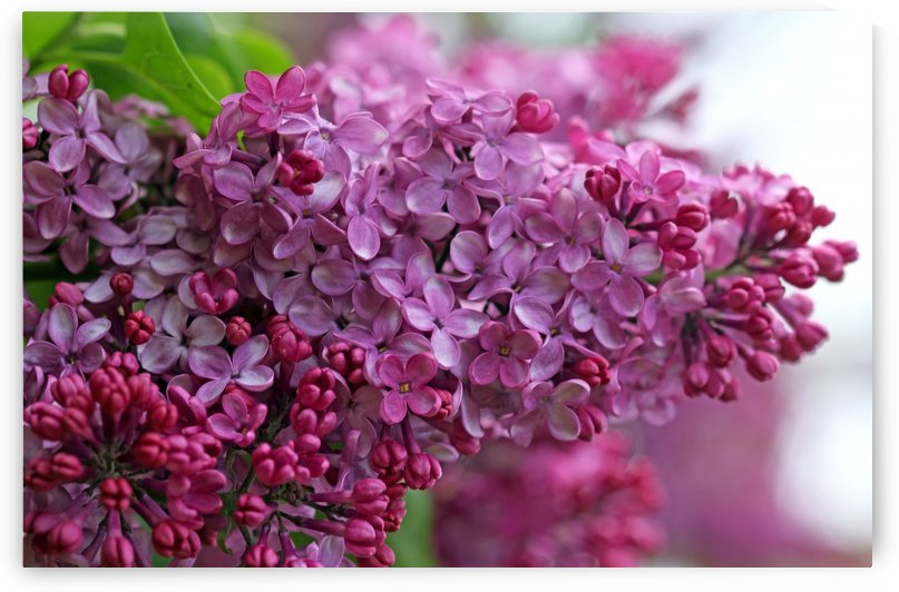Lilac Heaven by Deb Oppermann