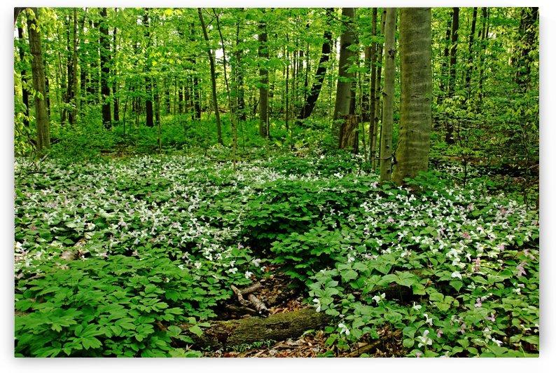 Trillium Woods VI by Deb Oppermann