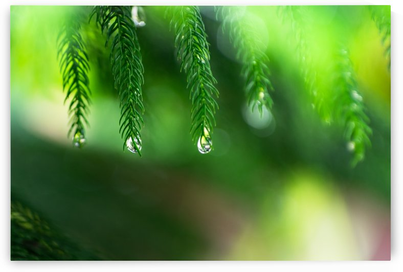 Rain drop at evergreen leaves by Krit of Studio OMG