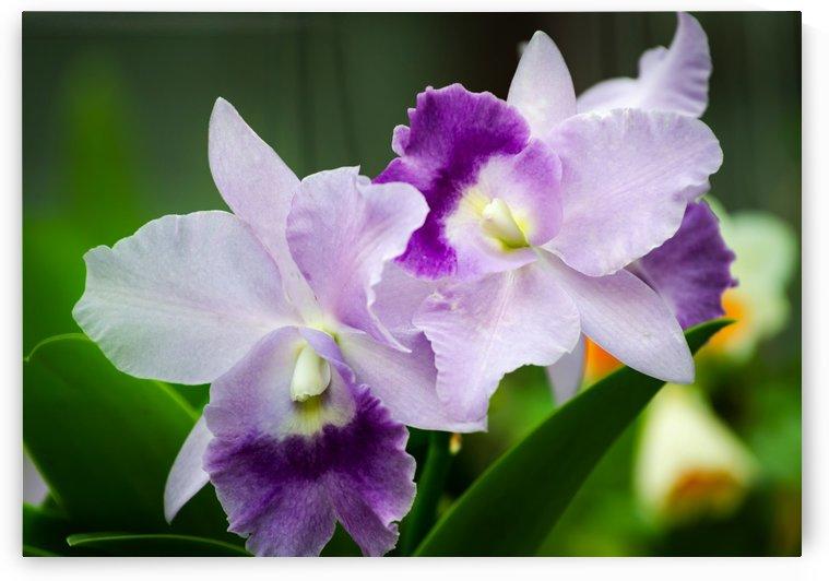 Purple orchid flower by Krit of Studio OMG