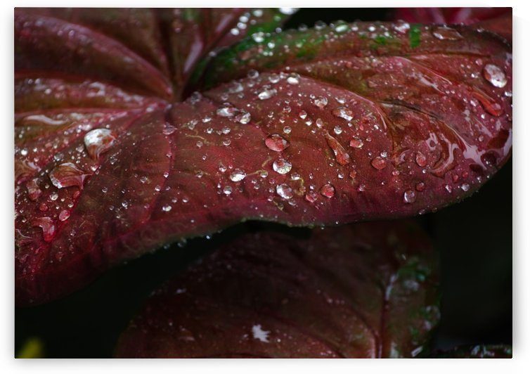 Drops on red leaf by Krit of Studio OMG