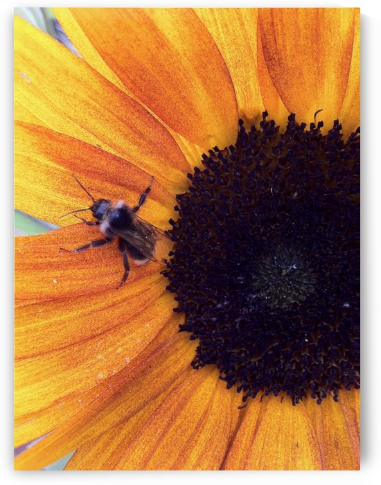Bee on Sunflower by Bear & Badger