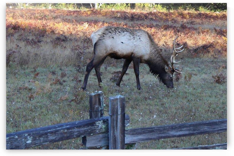 Bowing Elk by Bear & Badger
