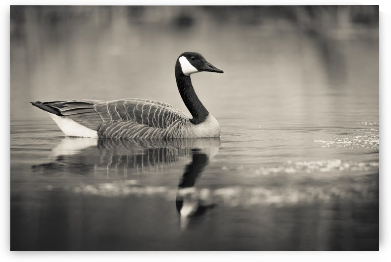 Canada Goose - 2 by JADUPONT PHOTO