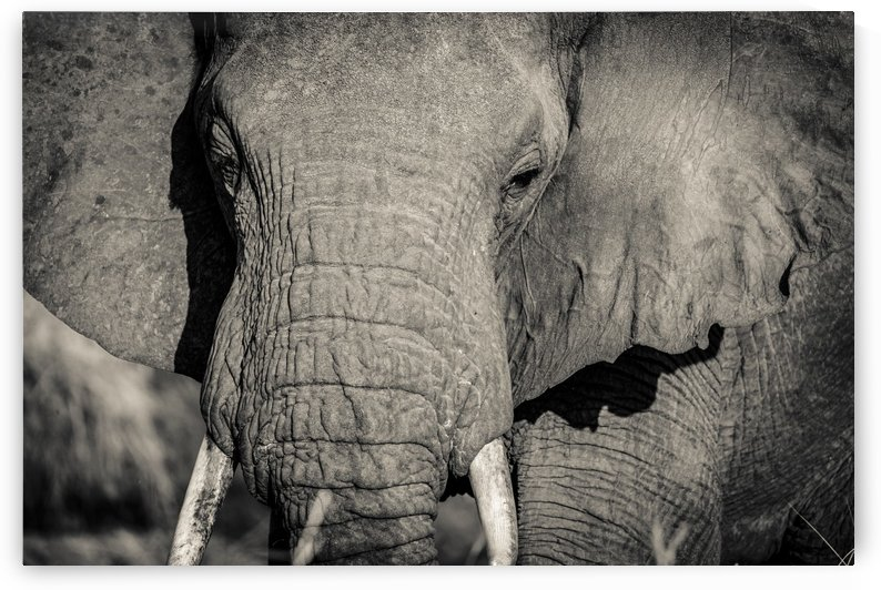 Elephant Portrait by JADUPONT PHOTO