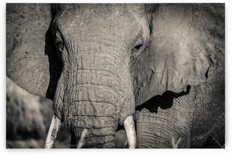 Elephant Portrait by JADUPONT PHOTO