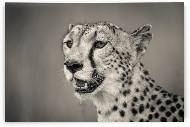 Cheetah Portrait by JADUPONT PHOTO