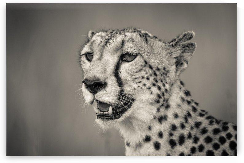 Cheetah Portrait by JADUPONT PHOTO