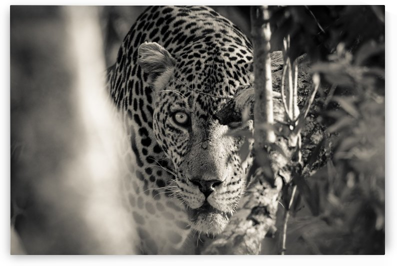 Eyes of the Leopard by JADUPONT PHOTO