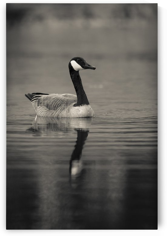 Canada Goose by JADUPONT PHOTO