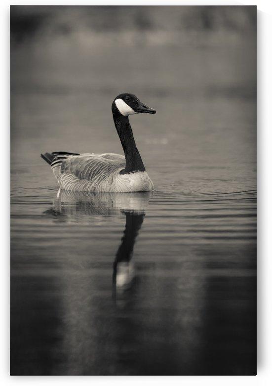 Canada Goose by JADUPONT PHOTO