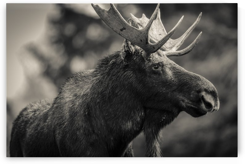 Moose Portrait - 2 by JADUPONT PHOTO