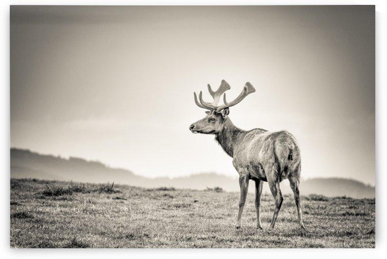 Tule Elk by JADUPONT PHOTO