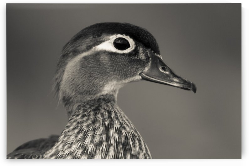 Wood Duck by JADUPONT PHOTO