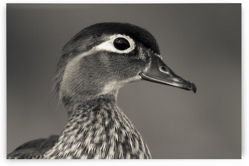 Wood Duck by JADUPONT PHOTO
