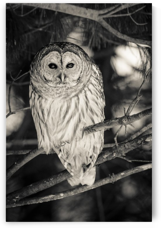 Spotted Owl - 2 by JADUPONT PHOTO